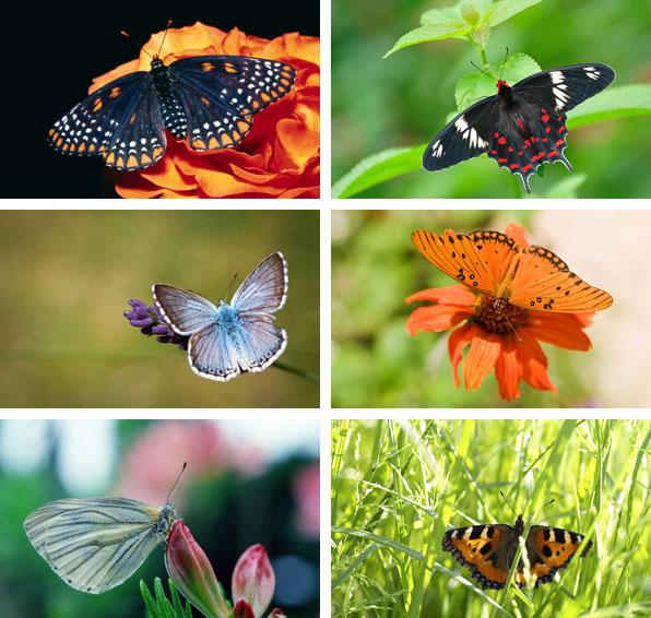 Bakgrundsbilder från temat Fjärilar